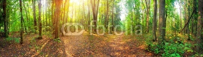 Panorama of a mixed forest at summer sunny day